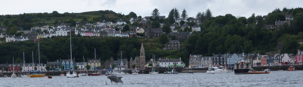 Dolphins in Tobermory bay